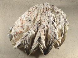 Hyotissa hyotis MG 19,5cm *Unikat*