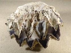 Hyotissa hyotis MG 16cm *Unikat*