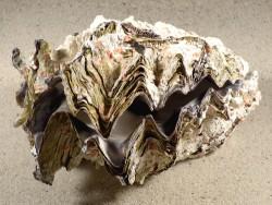 Hyotissa hyotis MG 14,5cm *Unikat*