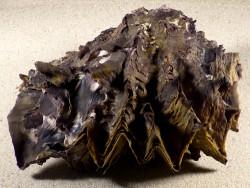 Hyotissa hyotis PH 16cm *Unikat*