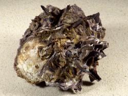 Hyotissa hyotis PH 12,5cm *Unikat*