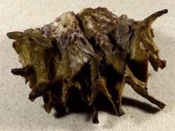 Hyotissa hyotis PH 11cm *Unikat*