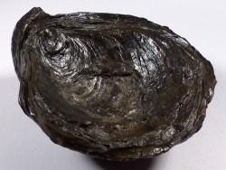 Gryphaea dilatata Jura DE 8,3cm *Unikat*