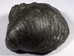 Gryphaea dilatata Jura DE 10cm *Unikat*