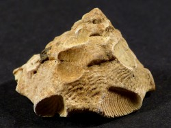 Xenophora crispa Pliocene IT 3cm *unique*