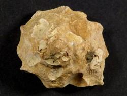 Xenophora crispa Pliozän IT 3cm *Unikat*