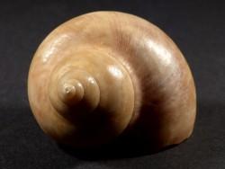 Turbo petholatus Pleistozän EG 5,7cm *Unikat*