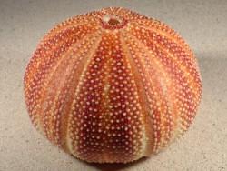 Großer  Nordsee-Seeigel Echinus esculentus UK 12,4cm *Unikat*