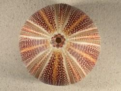 Großer  Nordsee-Seeigel Echinus esculentus UK 11,9cm *Unikat*