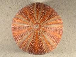 Echinus esculentus UK 11,6cm *Unikat*