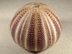 Echinus esculentus UK 11,7cm *Unikat*