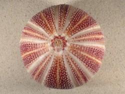 Echinus esculentus UK 11,8cm *Unikat*