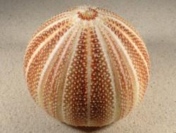 Echinus esculentus UK 11,5cm *Unikat*