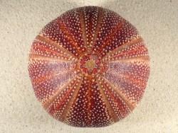 Echinus esculentus UK 12,1cm *Unikat*