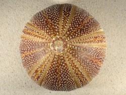 Echinus esculentus UK 13,3cm *Unikat*