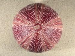 Großer  Nordsee-Seeigel Echinus esculentus UK 11,3cm *Unikat*