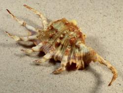 Lambis scorpius PH 13,6cm *Unikat*
