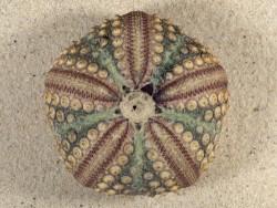 Echinothrix calamaris PH 7,4cm *Unikat*