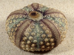 Echinothrix calamaris PH 7,7cm *Unikat*
