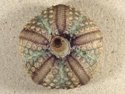 Echinothrix calamaris PH 7,7cm *unique*