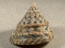 Tectus pyramis PH 6,8cm *freak*