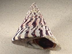 Tectus niloticus m/O PH 11,8cm *Unikat*