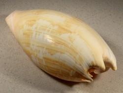 Melo umbilicatus ID 22,8cm *Unikat*
