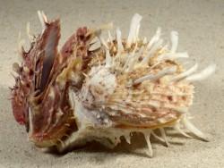 Spondylus variegatus Cluster PH 10cm *Unikat*