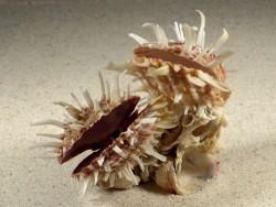 Spondylus variegatus cluster PH 9,5cm *unique*