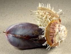 Modiolus philippinarum mit Spondylus variegatus PH 12cm *Unikat*