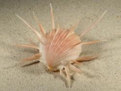 Spondylus imperialis *rosy* PH 12cm *unique*
