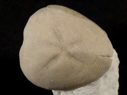 Micraster leskei Kreide FR 4,3cm *Unikat*