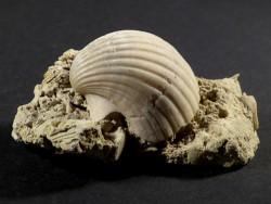 Pecten josslingi Miozän PT 3cm *Unikat*