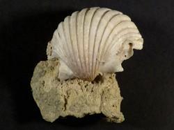 Pecten josslingi Miozän PT 4cm *Unikat*