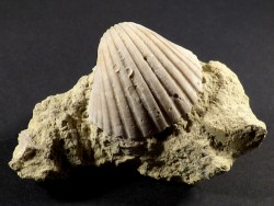 Pecten josslingi Miozän PT 4,2cm *Unikat*