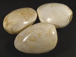 Fossile Muschel poliert *weiß* Jura MG 7,5+cm