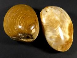 Fossile Muschel poliert *braun* Jura MG 7,5+cm