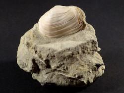 Mya truncata Pliozän IT 4,1cm *Unikat*