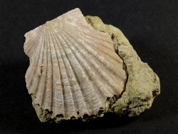 Chlamys pseudopandorae Miozän PT 3,7cm *Unikat*