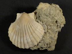 Pecten beudanti Miozän PT 4,4cm *Unikat*