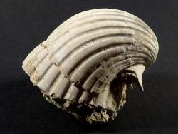 Pecten josslingi Miozän PT 4,7cm *Unikat*
