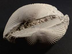 Anadara lienosa Pliozän US 9,2cm *Unikat*