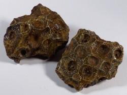 Actinocyathus sp. Karbon MA 4,5+cm