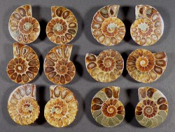 Ammonite cut polished paired Cretaceous MG 3+cm (x2)