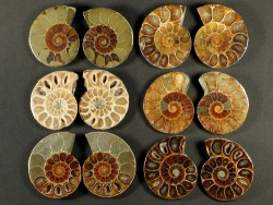 Ammoniten-Schnitt poliert paarig Kreide MG 3+cm (x2)