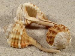 Ranularia parthi PH 5,5+cm