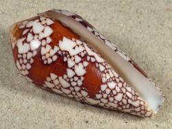 Conus episcopatus MG 6,6cm *Unikat*