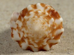Conus sulcocastaneus PH 4,5cm *unique*