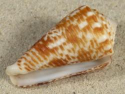 Conus sulcocastaneus PH 4,8cm *unique*