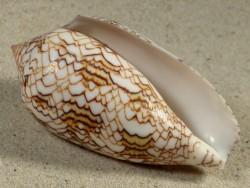 Conus archiepiscopus MG 7,9cm *Unikat*